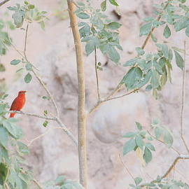 Ruth Jolly - Summer Tanager