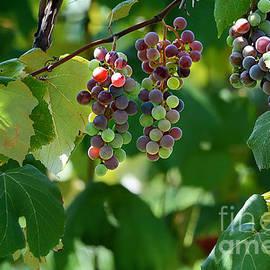 Nava  Thompson - Summertime Grape Harvest