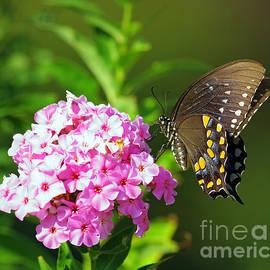 David Cutts - Summertime Swallowtail