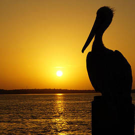 Joey Waves - Sun Pelican