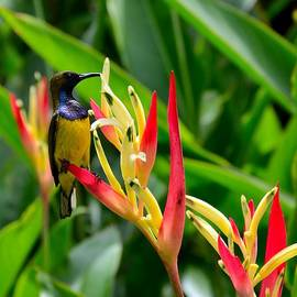 Imran Ahmed - Sunbird on heliconia ginger flowers Singapore