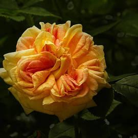 Robert Murray - Sunburst Rose
