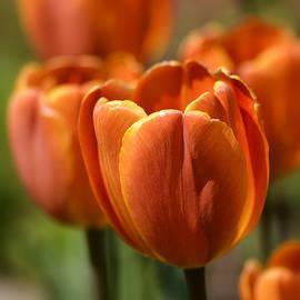 Julie Palencia - Sunburst Tulips