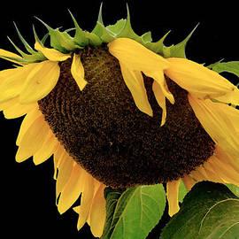 Sue McGlothlin - Sunflower Splendor