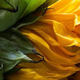 Mary Bedy - Sunflower 5
