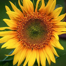 Guy Whiteley - Sunflower 7K01649