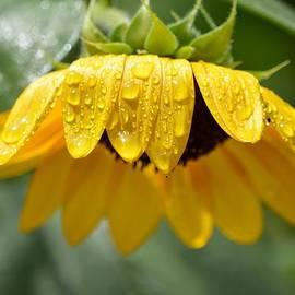 Karen  Majkrzak - Sunflower after the Rain