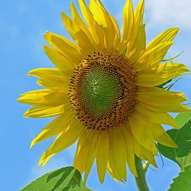 Lisa  Phillips - Sunflower Against Blue Sky