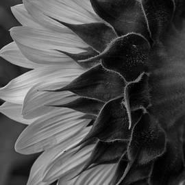 Aileen Mozug - Sunflower