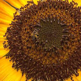 Christina McConkey - Sunflower and Bee