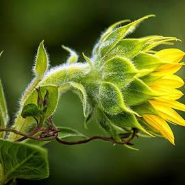 Carolyn Derstine - Sunflower and Vine