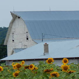 Wild Thing - Sunflower Barn
