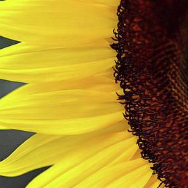 Sandi OReilly - Sunflower Beauty