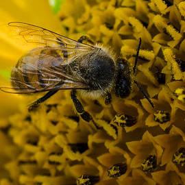 Joseph Kethan - Sunflower Bee