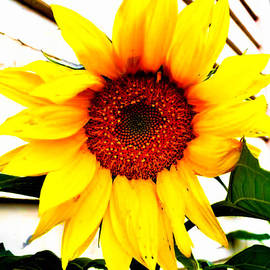 Naomi Burgess - Sunflower Blossom