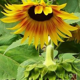 Susan Garren - Sunflower Bow