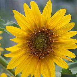 Rob Luzier - Sunflower close up.