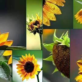 Karen  Majkrzak - Sunflower Collage
