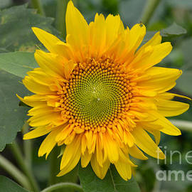 DejaVu Designs - Sunflower