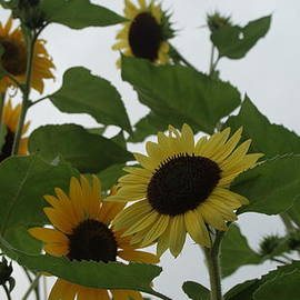 Rob Luzier - Sunflower Delight.