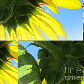 Tina M Wenger - Sunflower Details