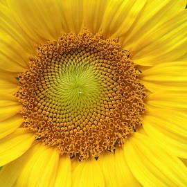 Diane Storer - Sunflower