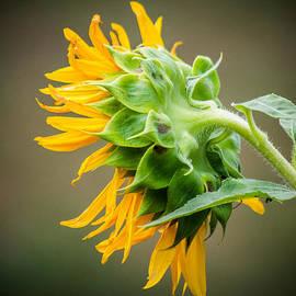 Parker Cunningham - Sunflower Dreams
