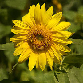 Greg Kluempers - Sunflower DSC07137
