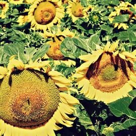 Dan Radi - Sunflower Field