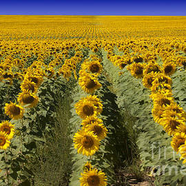 Juli Scalzi - Sunflower Field