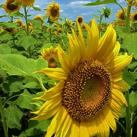 Larry Weingartner - Sunflower Field