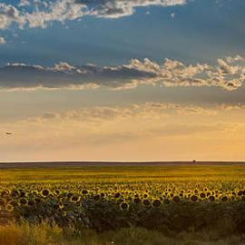 Linda Storm - Sunflower Fields Forever