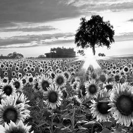 Debra and Dave Vanderlaan - Sunflower Fields in Black and White