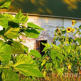 Tina M Wenger - Sunflower Garden on Big Barn Backdrop