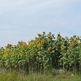 MTBobbins Photography - Sunflower Hill
