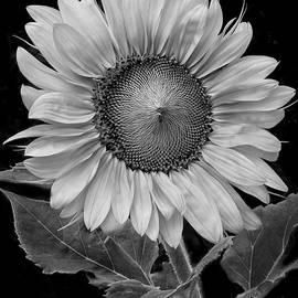 David Mullen  - Sunflower II