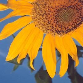 Heather Kirk - Sunflower in the Corner