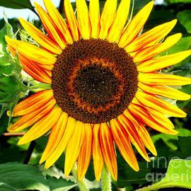 Alice Kay H - Sunflower In The Garden