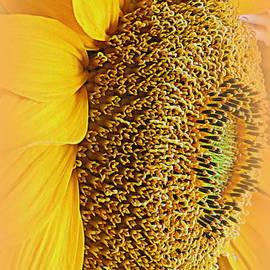 Kay Novy - Sunflower