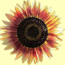 MTBobbins Photography - Sunflower Light