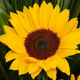 Lina Isaza - Sunflower