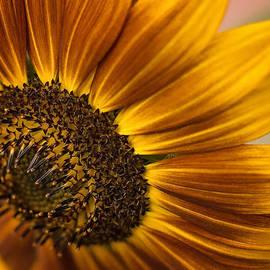 Linda Storm - Sunflower