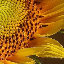 Bruce Bley - Sunflower Macro