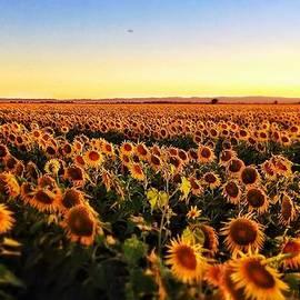 Cindy Lee Galyean - Sunflower Madness