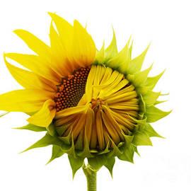 Susan Montgomery - Sunflower mid bloom