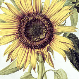 Nicolas Robert - Sunflower
