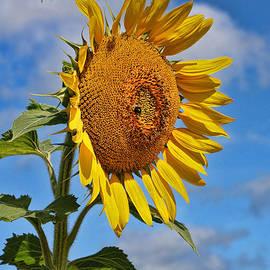 Allen Beatty - Sunflower Nirvana 20