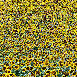 Allen Beatty - Sunflower Nirvana 24
