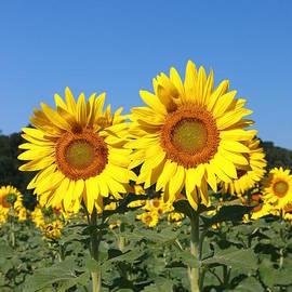 Allen Beatty - Sunflower Nirvana 29