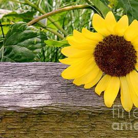 Francie Davis - Sunflower on Fence